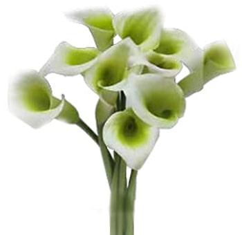 Green Calla Lily Flower