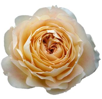 caramel antique garden rose