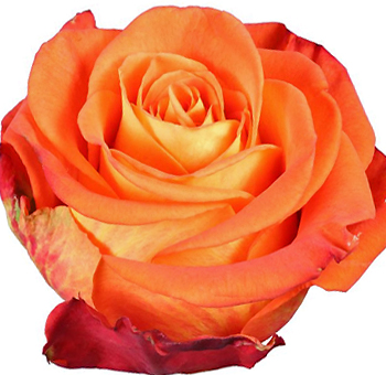 Careless Whisper Bicolor Orange Roses