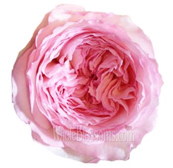wedding kiss light pink garden rose