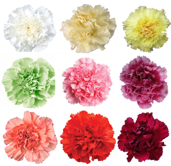 Carnation Flowers Personalized Colors
