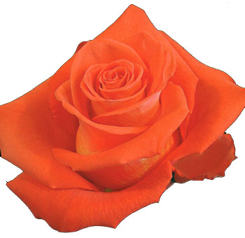Organic Bulk Cartagena Orange Roses