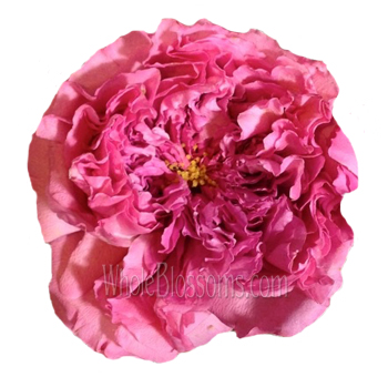Janelle Pink Peony Garden Rose