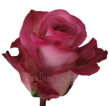 Classic Cezanne Bicolor Pink Rose