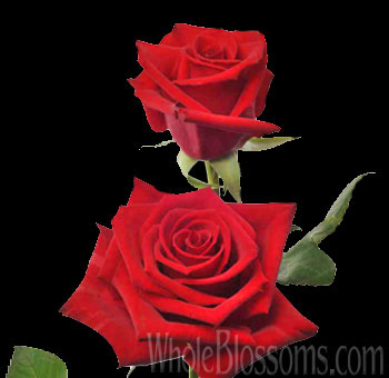 Wholesale Flower Charlotte Red Rose