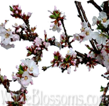 cherry-blossom-branches
