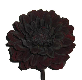 Dahlias Chocolate Flowers