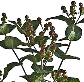 Chocolate Hypericum Flowers