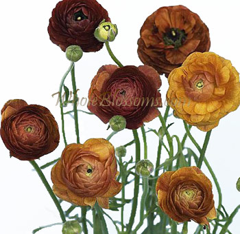 Chocolate Ranunculus