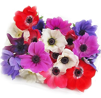 Anemone Flowers - Choose your colors 100 stems