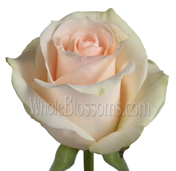 Clear Ocean Peachy Cream Bulk Roses