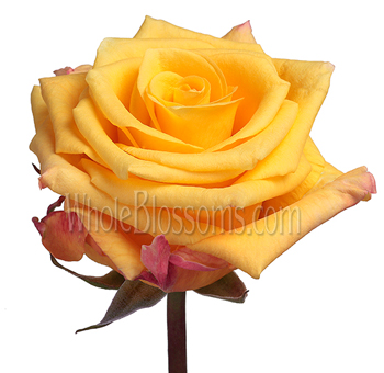 Conga Yellow Rose