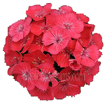 Dianthus Coral Hot Pink Flower