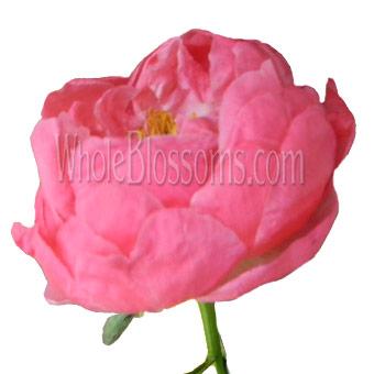Buy fresh cut bulk pink coral peony flower at wholesale coral peony flower mightylinksfo
