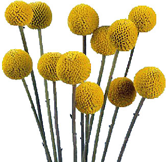 Yellow ball like flowers gallery flower decoration ideas yellow pom flowers image collections flower decoration ideas fresh cut wholesale flowers online for sale craspedia mightylinksfo