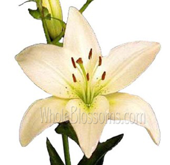 Asiatic Lilies Cream Flower
