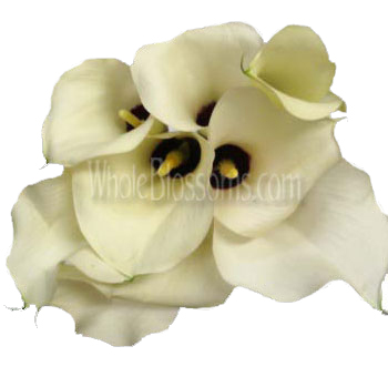 Cream Calla Lilies Chantilly