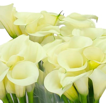 Black Eye Yellow Calla Lilies Long