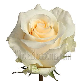 Wholesale creme de la crme rose flower at wholesale prices mightylinksfo