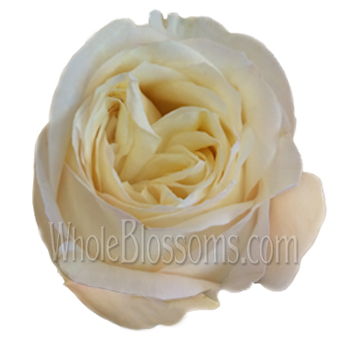 Romantic Creamy Passion Garden Rose