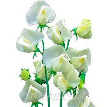 Sweet Peas Cream Flower