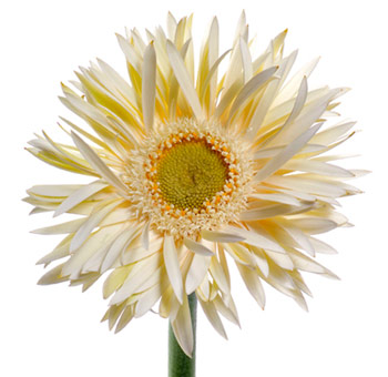 White spider gerbera daisy flower at wholesale creamy white spider gerbera flower mightylinksfo