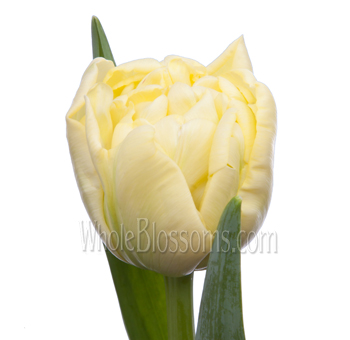 Double Tulips Cream Avant Garde