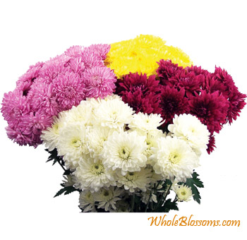 Cushion Pom Chrysanthemum Flower - Assorted