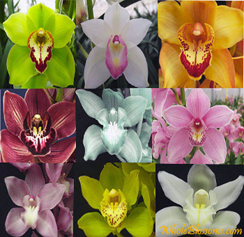 Assorted Cymbidium Orchids