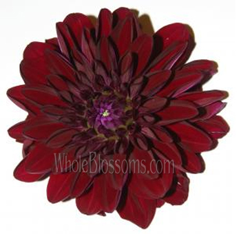 Dahlias Burgundy Flowers