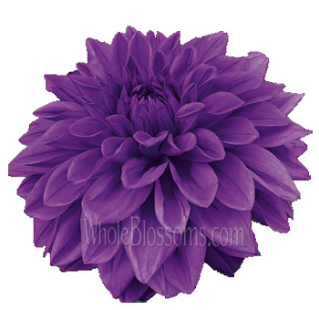 Dahlias Purple Flowers