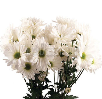 Daisy Pom Flower White