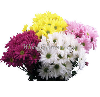 Daisy Pompon Flower Assorted