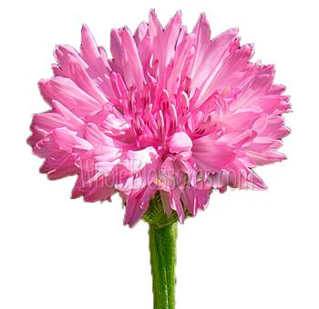 Cornflower dark pink flower for sale cornflower dark pink flower mightylinksfo