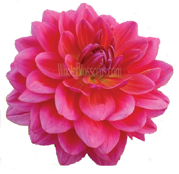 Dark Pink with Purple Cast Dahlia Flower