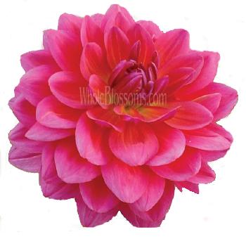 Fuschia flowers buy fuschia wedding flowers dark pink with purple cast dahlia flower mightylinksfo