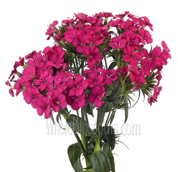 Dianthus Dark Pink Flower