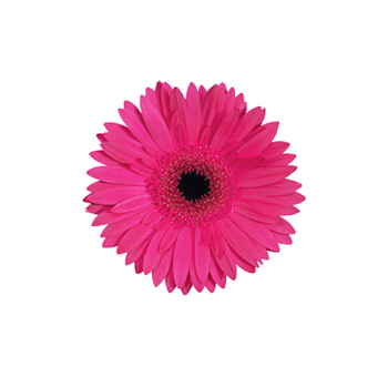 Dark Pink Mini Gerbera Flowers