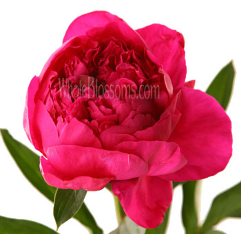 Peony Fuchsia Hot Pink Flower