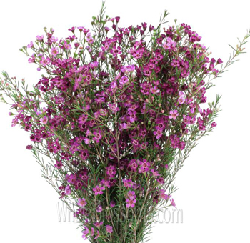 Waxflowers Dark Pink Purple