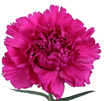 Tinted Dark Pink Carnation Flower