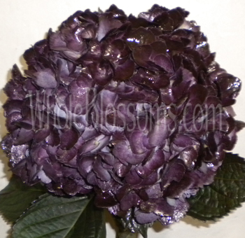 Hydrangea Berenjena Dark Purple Tinted Flower
