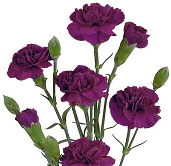Purple Mini Carnations for Valentine's Day