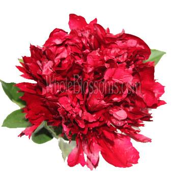 Peony Dark Red Flower