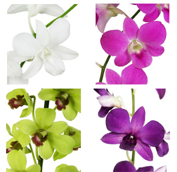 Dendrobium Orchids Assorted