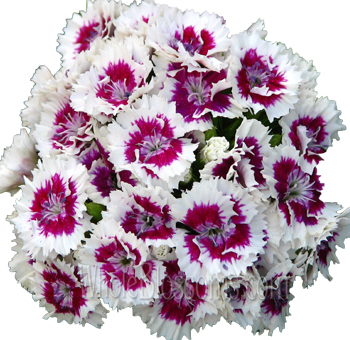 Dianthus Pink and White Flowers