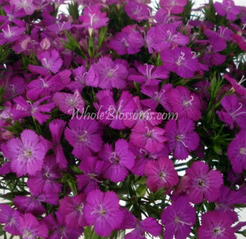 dianthus-purple-flower