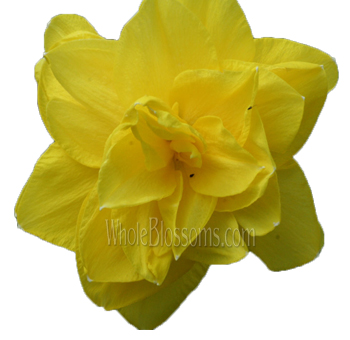 Daffodil Yellow Double