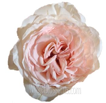 pink charming garden rose - Peach Garden Rose