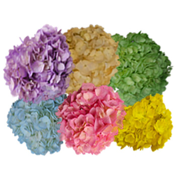 Assorted Airbrushed Spring Hydrangeas